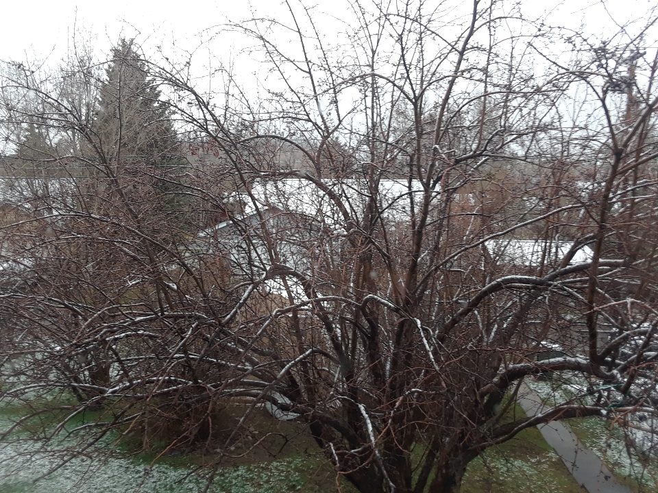 snowy tree 0519
