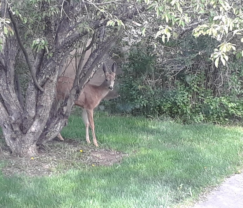 deer 0619