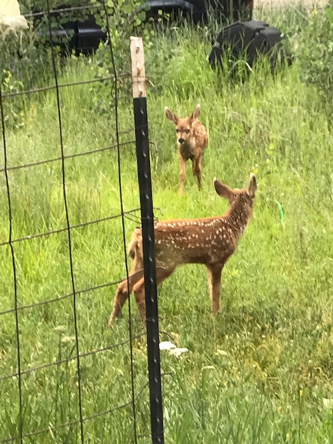 fawns 0719