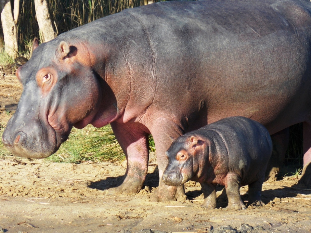 hippos 0420