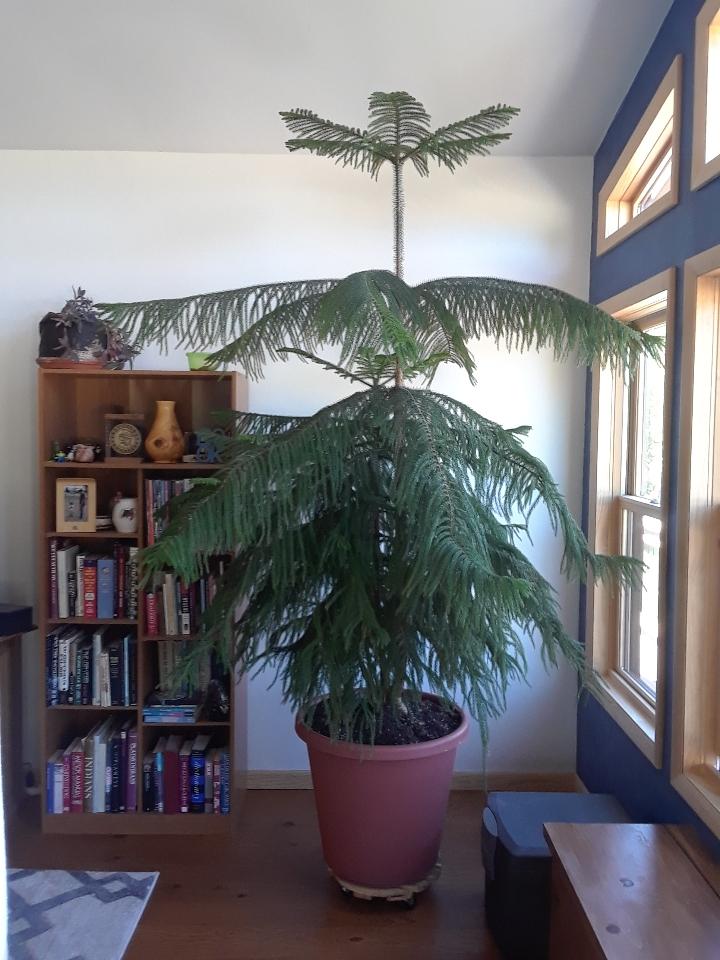 norfolk pine 0620